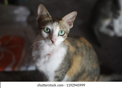 Indonesians call it a Javanese cat