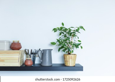 Indoor adult home plant - ficus benjamin in a wicker basket on a grey wall background. Kitchen shelf interior. Copy space