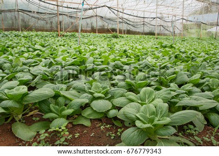 Indoor Baby Bok Choy Plant Stock Photo Edit Now 676779343