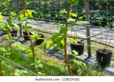 Indoor bio farming in Netherlands, greenhouse with rows of cultivated black currant plants in spring season
