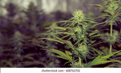 indoor bloom  medical cannabis marijuana plant