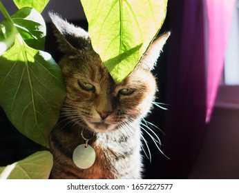 Indoor cat enjoying the warmth of the sun with his face inside avocado tree leaves