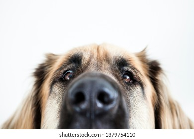 Indoor close-up from a leonberger who says peek-a-boo where you can only see the top of her face.