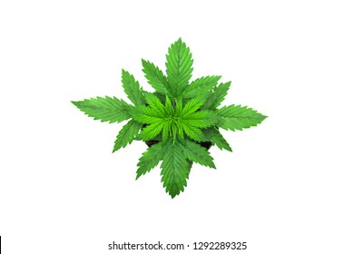 Indoor cultivation. Cannabis Plant Growing. Vegetation period. Marijuana leaves. Cannabis on a white background. Beautiful background. Top view.