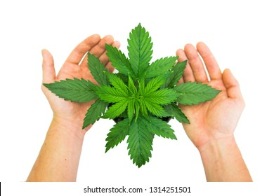 Indoor cultivation. Man's hands on Cannabis Plant Growing. Vegetation period. Marijuana leaves. Top view. Beautiful background. Cannabis on a white background.