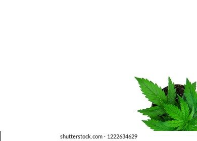 Indoor cultivation. Vegetation period. Cannabis Plant Growing. Beautiful background. Marijuana leaves. Top view. Cannabis on a white background isolate.