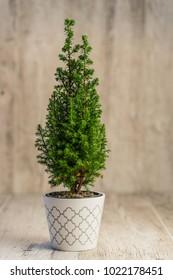 indoor cypress tree on desk