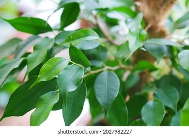 Indoor ficus benjamina plant in a pot on a window close-up. Ficus benjamina. Moraceae Family