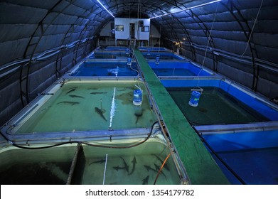 At an indoor fishery: hall with temperature control system and tanks with adult sturgeon fishes inside. April 29, 2019. Kiev, Ukraine