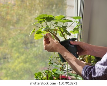 Indoor floriculture. Removal of dry leaves.