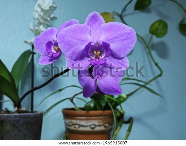 indoor-flower-phalaenopsis-commonly-know