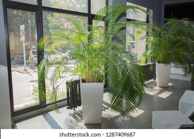 Indoor flower pots plants, large . Vases in a row . Green plant pot next the window in the morning . Decorative Areca palm