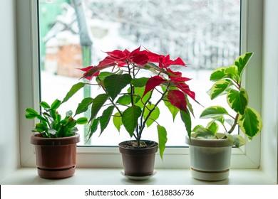 indoor flowers on a windowsill in winter