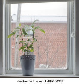 Indoor gardening concept plant in pot on window sill during winter day
