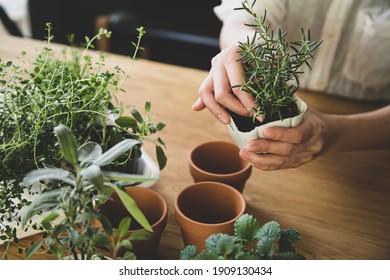 Indoor gardening. Female hands replant herbs.