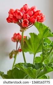 Indoor Geranium with Red tulip flowers