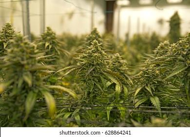 Indoor Grow Warehouse Marijuana Plants in Bloom Harvest Time