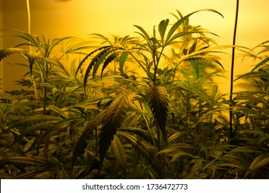 indoor growing medical marijuana Just before they finish growing, this is the state of the plants to start flowering. leafy, green leaves and healthy plants