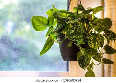 An indoor hanging fern houseplant by the window.