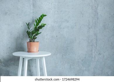 Indoor home Plant. Zanzibar Gem, ZZ Plant (Zamioculcas Zamifolia). flowering plant in front of grey concrete wall. Copy space