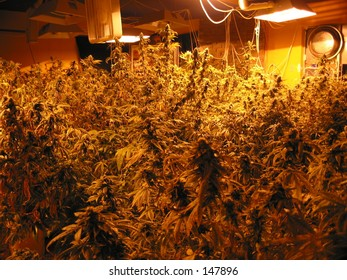 Indoor Hydroponic Medical Cannabis