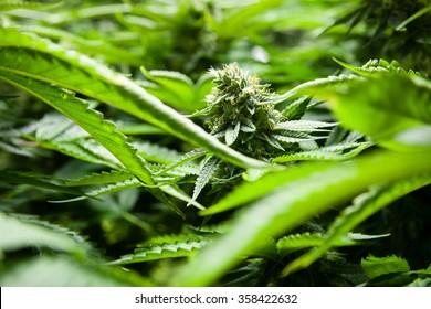 Indoor Marijuana bud in a sea of green