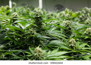 Indoor Marijuana bud under lights
