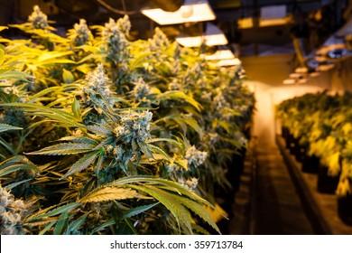 Indoor Marijuana bud under lights. This image shows the warm lights needed to cultivate marijuana.