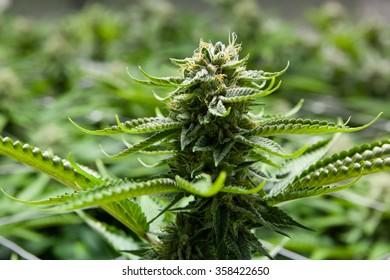 Indoor Marijuana bud with visible crystals