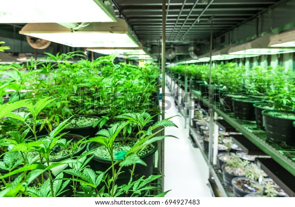 Indoor Marijuana Grow Dispensary Denver Colorado Stock Photo