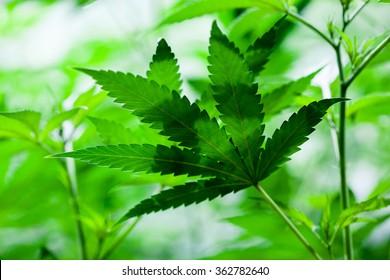 Indoor Marijuana leaf. Shallow depth of field, background style image