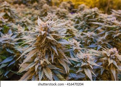Indoor Marijuana Plant
