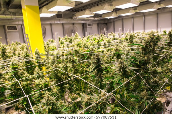 Plantes de marijuana à l'intérieur