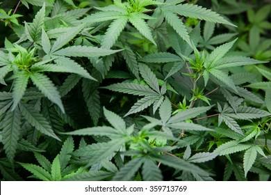 Indoor Marijuana plants, early stage before budding