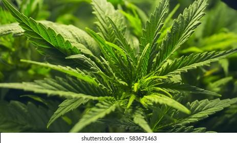 INDOOR MEDICAL MARIJUANA GROW CANNABIS PLANT