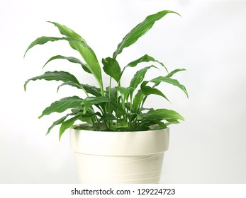 indoor peace lily plant by the wall