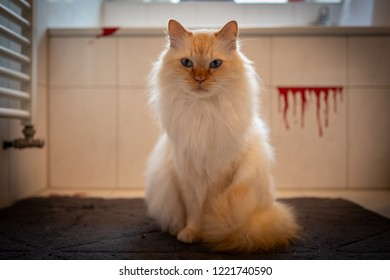 Indoor photo of sacred birman cat