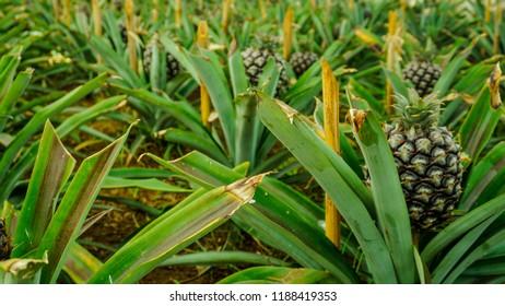 Indoor pineapple plantation close up at  Arruda Pineapple Plantation, Ponta Delgada, Azores