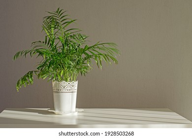 Indoor plant Chamaedorea elegans on white table with sunlight from the window. Indoor flower in a white pot