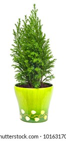 Indoor plant a cypress on a white background