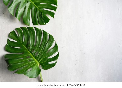 Indoor plant decoration theme Monstera deliciosa, also known as the Swiss Cheese plant flat lay on grey cement background. (top view, close up, selective focus, space for text)