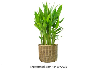 indoor plant isolated