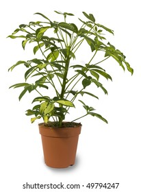 Indoor Plant Isolated in a pot
