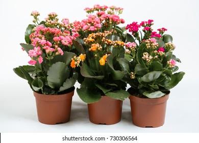Indoor plant Kalanchoe blossfeldiana