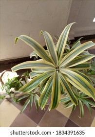 An indoor plant named Dracaena reflexa with yellow shaded  leaves . Its a native plant of Mozambique, Madagascar, Mauritius etc