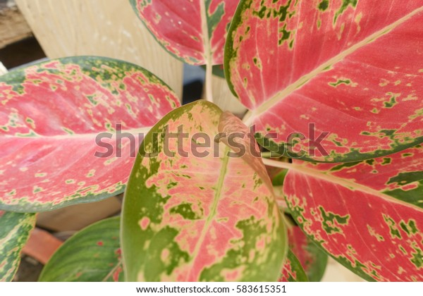 Indoor Plant Pink Green Leaf Parks Outdoor Stock Image 583615351