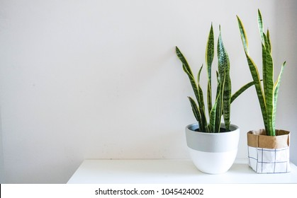 Indoor Plant - Snake Plant