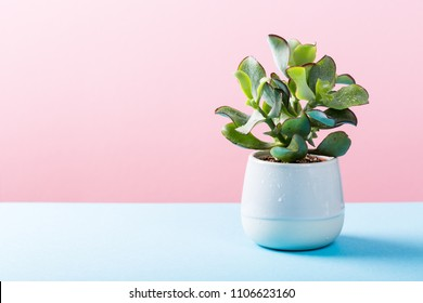 Indoor plant succulent plant in gray ceramic pot on blue and pink background with copy space.