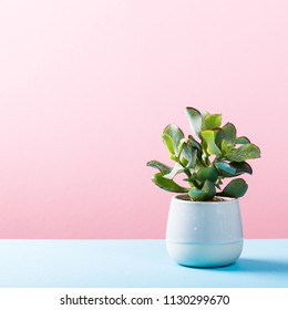Indoor plant succulent in gray ceramic pot on blue and pink background with copy space.