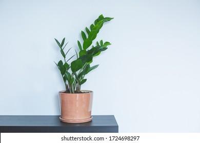 Indoor Plant. Zanzibar Gem, ZZ Plant (Zamioculcas Zamifolia). flowering plant in front of white wall. copy space